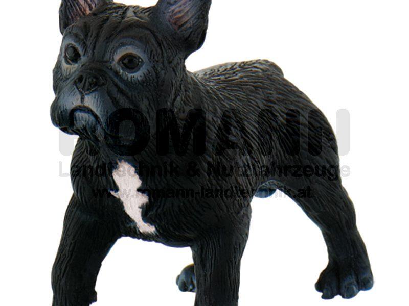 Französische Bulldogge Sammy